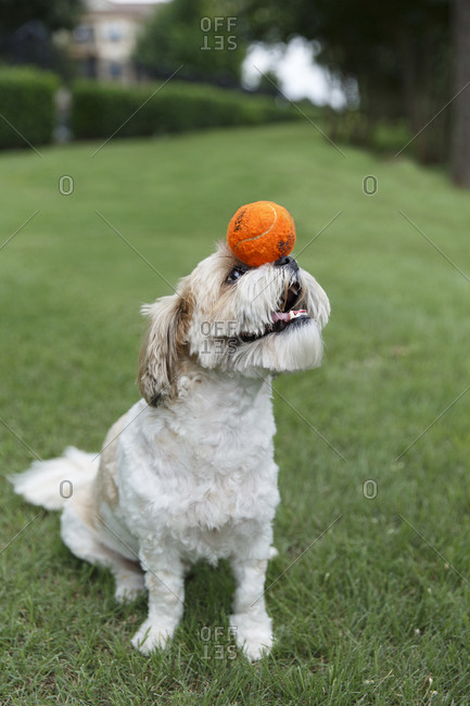 Furry dog with ball on its nose