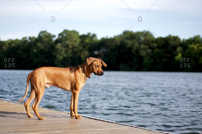 Rhodesian ridgeback dog looking into lake from dock