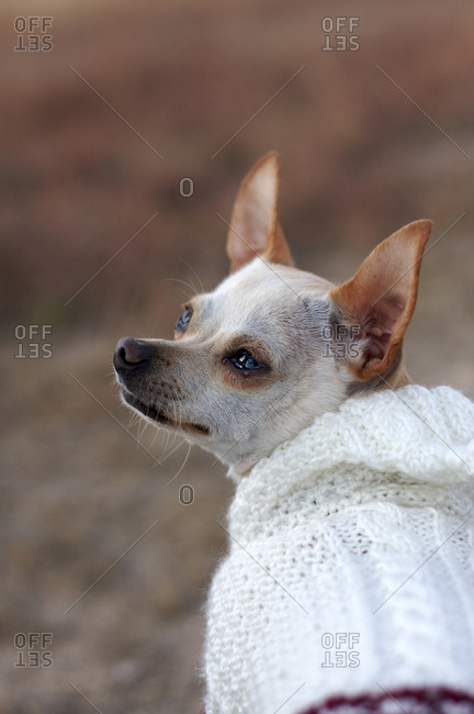 Close up of a Chihuahua wearing a sweater
