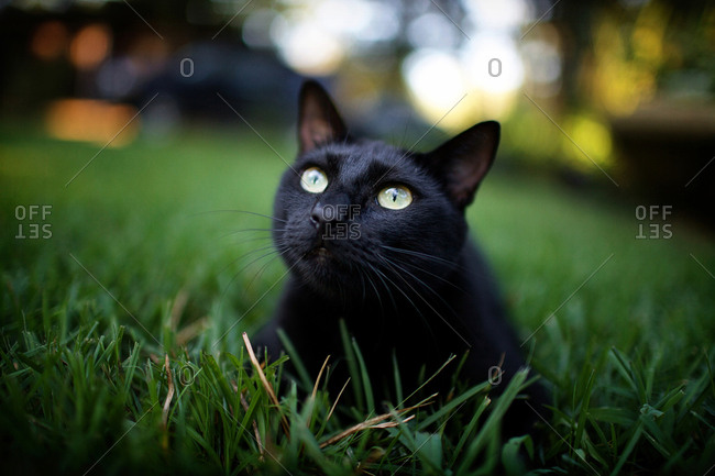Black cat resting in grass