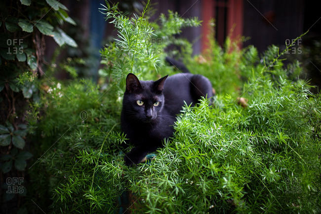Black cat playing in a bush