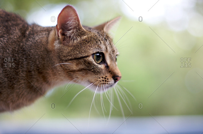 Profile of a brown cat