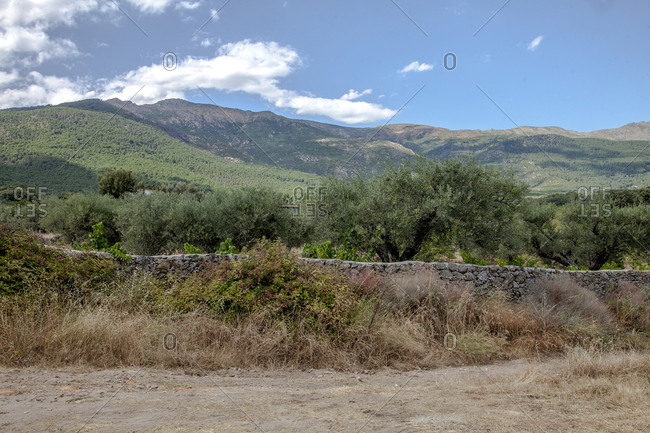 Olive trees in Casavieja, Gredos mountains, Avila, Spain