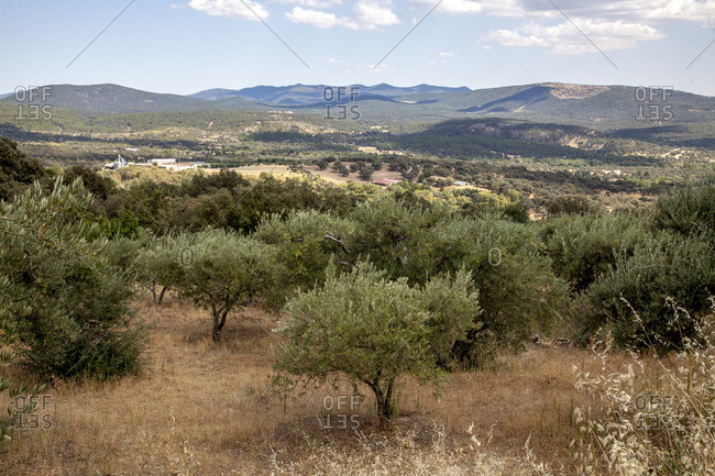 Olive trees, Casavieja, Gredos mountains in Spain