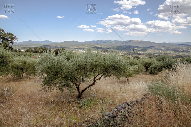Olive trees in Casavieja, Gredos mountains in Spain