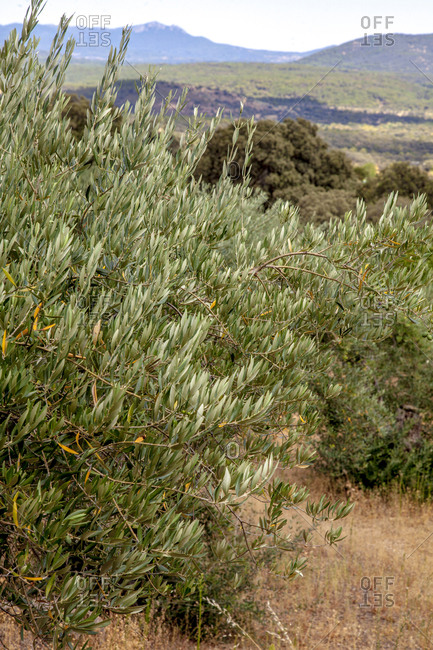 Close up of olive trees in Casavieja, Gredos mountains, Avila, Spain