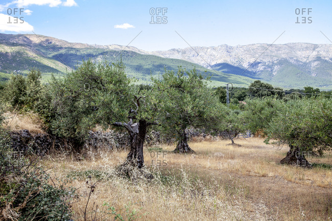 Gredos mountains and olive trees in Casavieja, Avila, Spain