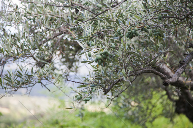 Close up of olive trees in Casavieja, Avila, Spain
