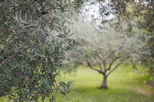 Close up of olive trees in the Gredos mountains, Casavieja, Avila, Spain