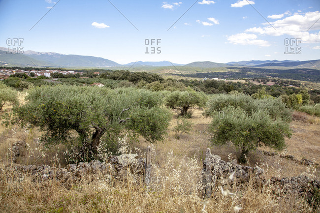 Gredos mountain chain and olive trees