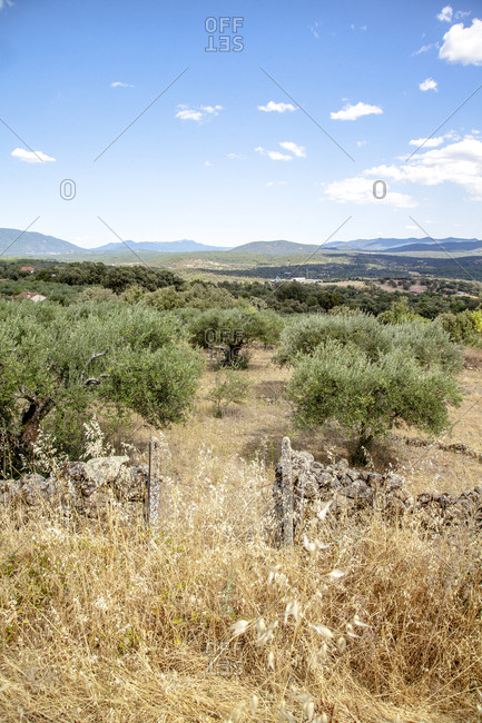 Olive trees in the Gredos mountains, Avila, Spain