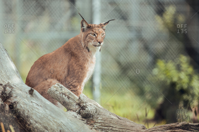 Proud brown lynx sitting on branch in natural reserve