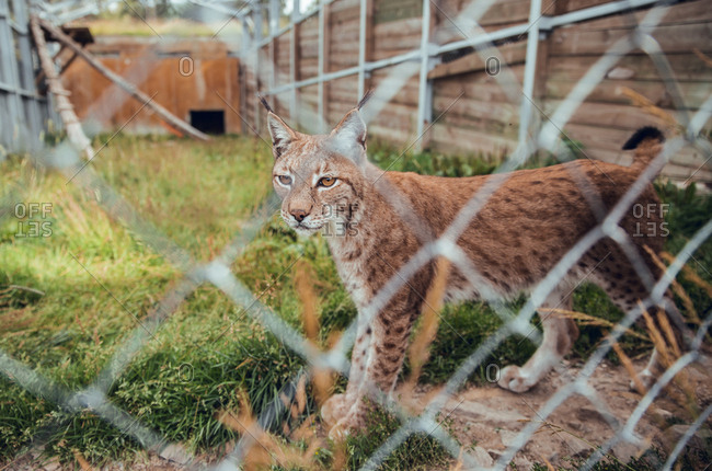 Cute brown dotted lynx standing at grid and looking away in natural reserve
