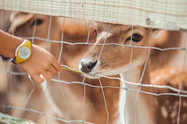Close-up hand pulling to deer head at cage in the zoo