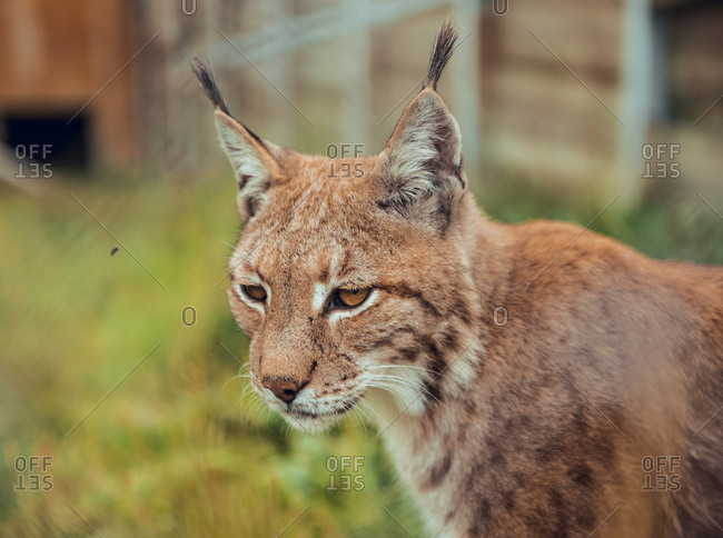 Lynx portrait looking away