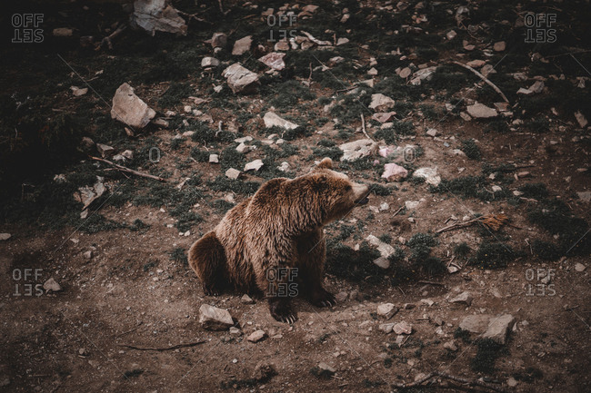 From above shot of wild brown bear sitting on ground amidst stones in Andorra