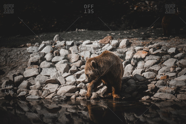 Wild brown bear sniffing ground while walking on stony shore of lake in Andorra