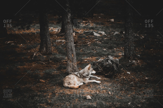 Furry wolf resting while lying on ground near tree in forest in Andorra