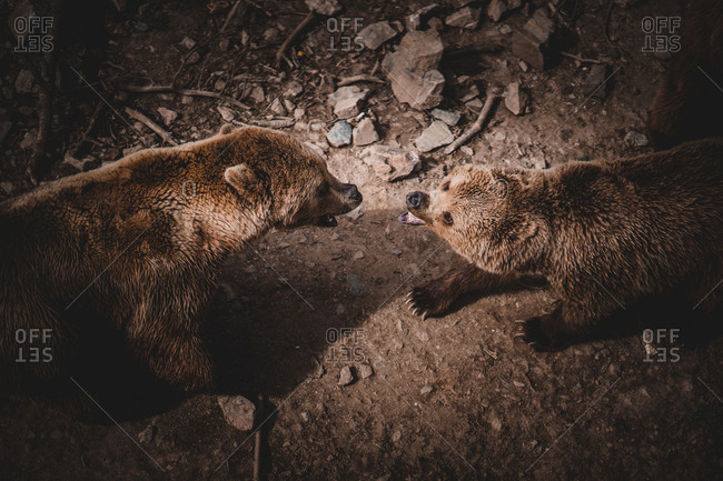 From above shot of two aggressive brown bears roaring and fighting while standing on ground in Andorra