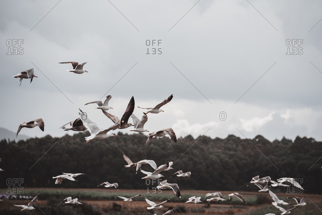 Flock of white seagulls flying on background of green trees and gray gloomy sky