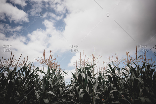 Corn growing on field