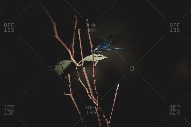 Dragonfly over leaves and twigs
