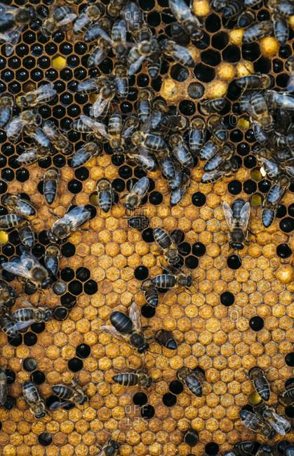 Honeybee swarm