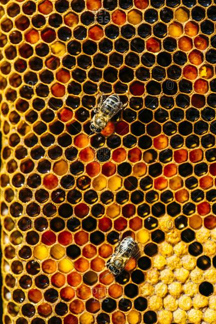 Busy honey bee working on honeycomb macro shot