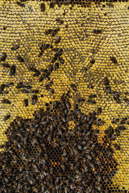 Honeybee swarm from the Offset Collection
