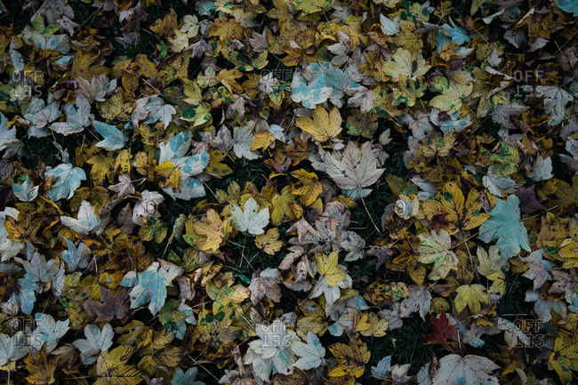 Autumn leaves lying on ground