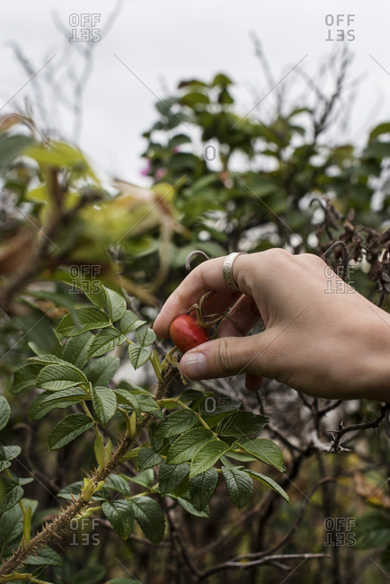 A woman picking rose hips