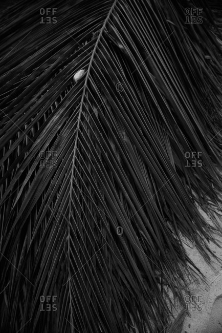 Black and white photo of big palm tree leaves. Background photo. Green leaves colored in dark gray tone in the morning. Tropical Plant,environment,photo concept nature and plant.