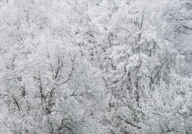 Hoarfrost in the Viennese wood, Helenental, Baden near Vienna, Lower Austria, Austria