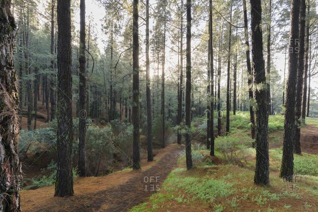 Fog, coniferous forest, island La Palma, Canary islands, Spain