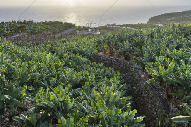 Banana plantations at San Andres, island La Palma, Canary islands, Spain