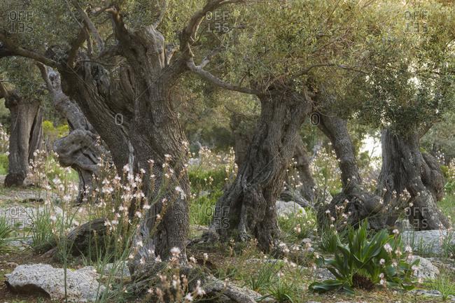 Olive trees at Deia, Majorca, the Balearic Islands, Spain