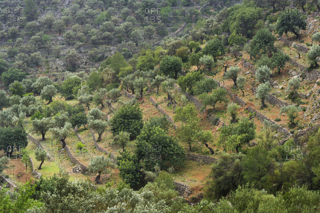 Olive trees, Majorca, the Balearic Islands, Spain