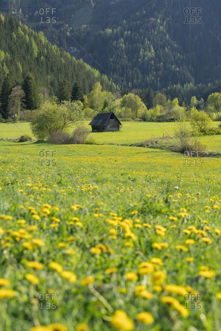 blossoming dandelion close Seckau, wooden hut, Styria, Austria