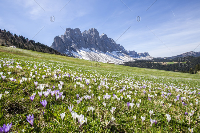 Flowers bloom on the meadows at the foot of the Odle. Malga Gampen Funes Valley. South Tyrol Dolomites Italy Europe