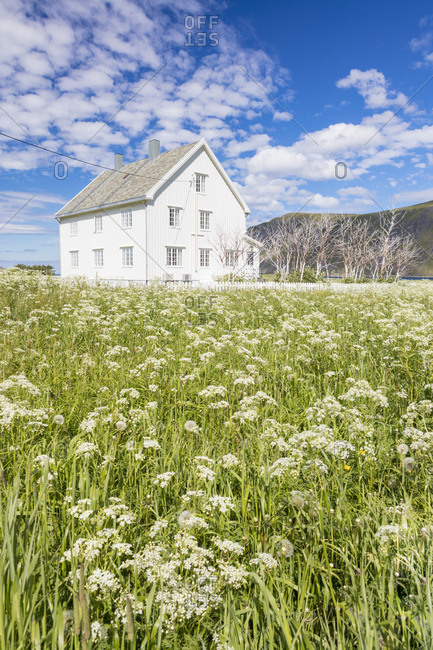 Field of blooming flowers frame the typical wooden house surrounded by peaks Flakstad Lofoten Islands Norway Europe