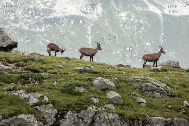 Ibex at high altitude around Lac de Cheserys Chamonix Haute Savoie France Europe