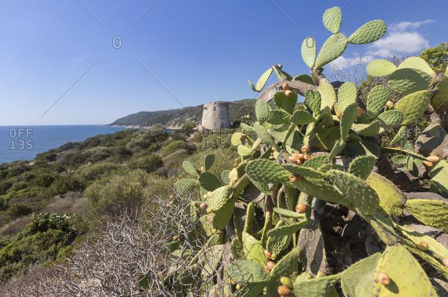 Prickly pears of the inland frame the tower overlooking the turquoise sea Cala Pira Castiadas Cagliari Sardinia Italy Europe