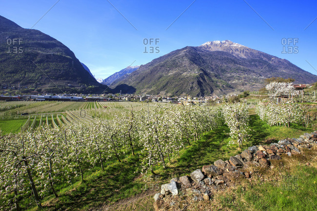 Flowering apple orchards Villa of Tirano Province of Sondrio Lombardy Valtellina Italy Europe
