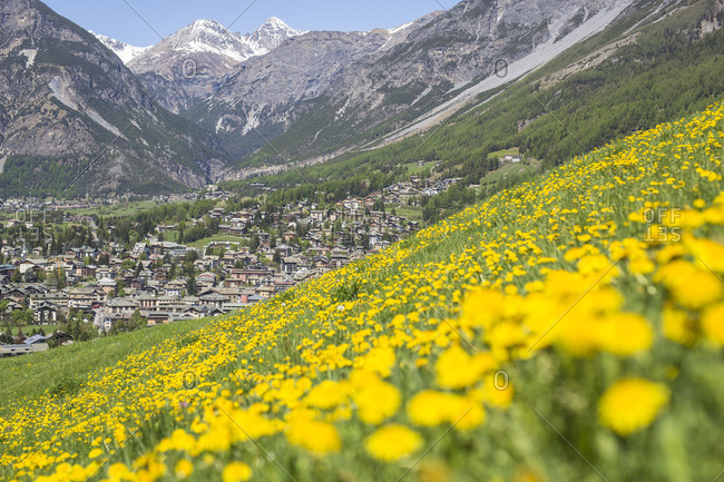 A carpet of yellow flowers on the green meadows with the village of Bormio in the background Valtellina Lombardy Italy Europe