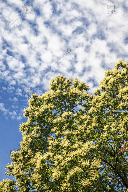 The branches full of green leaves of a tree stand towards the cloudy blue sky at summer