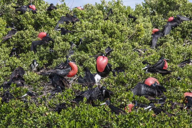 Birds in the green vegetation of the national Park of the Frigate Bird Sanctuary Antigua and Barbuda Leeward Islands West Indies