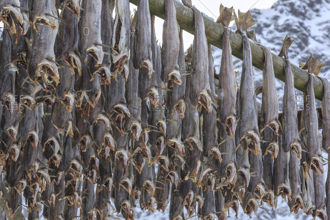 Details of the typical dried stockfish Lofoten Islands Norway Europe
