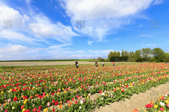 People collect the multicolored tulips in spring Yerseke Reimerswaal province of Zeeland Holland The Netherlands Europe