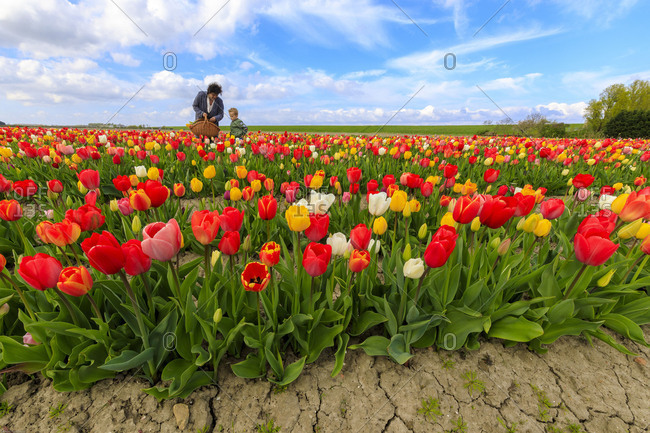 People collecting the multicolored tulips Yerseke Reimerswaal province of Zeeland Holland The Netherlands Europe