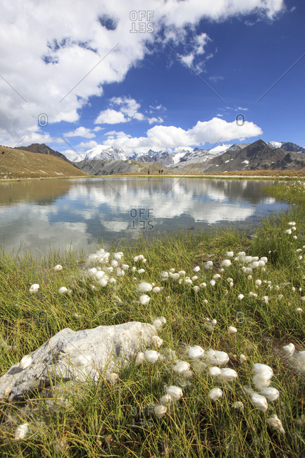 Cotton grass in bloom surrounds the alpine Lake Umbrail and Mount Ortles Braulio Valley Valtellina Lombardy Italy Europe